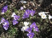 Crocus vernus purple & white