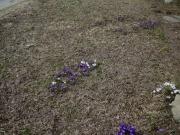 Crocus vernus naturalized in lawn