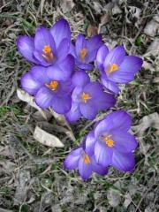 Crocus vernus purple