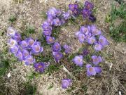 Crocus vernus purple/blue