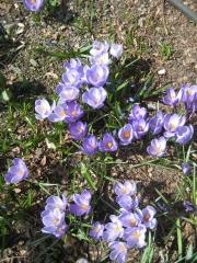Crocus vernus lavender & white
