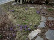 Crocus vernus sw portion of front lawn