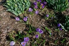 Crocus vernus crocus & daffodils