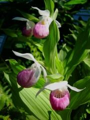 Cyprepedium reginae native, showy ladies' slipper