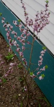 Daphne mezereum native pink Daphne