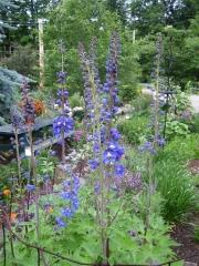 Delphinium elatum x 'Magic Fountains' blue & purple