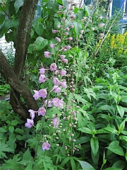 Delphinium elatum 'Pacific Giants' 'Astolat' pink with white bee