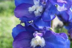 Delphinium closeup IMG_4380