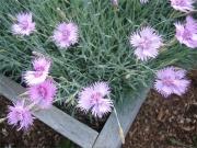 Dianthus caesius 'Bath's pink' single pink dianthus