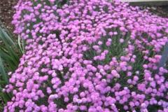 Dianthus gratianapolitanus 'Tiny Rubies' dwarf, double pinks