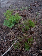 Dicentra spectabilis old-fashioned bleeding heart, new growth