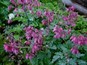 Dicentra eximia 'Luxuriant' everblooming bleeding heart