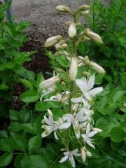 Dictamnus albus 'Alba' gas plant, white