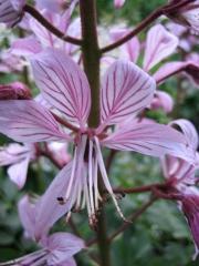 Dictamnus albus gas plant, pink, closeup