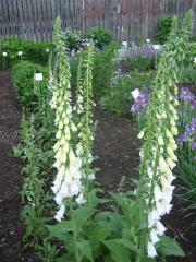 Digitalis purpurea white form with Siberian irises