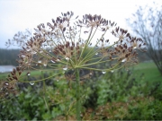 Anethum graveolens dill (culinary herb)