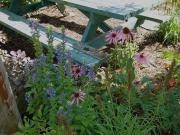 Echinacea purpurea & Lobelia siphilitica purple coneflower & greater blue lobelia