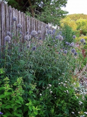 Echinops ritro globe thistle in long border