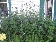 Echinops ritro globe thistle in full bloom