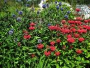 Echinops ritro & Monarda globe thistle & red bee balm