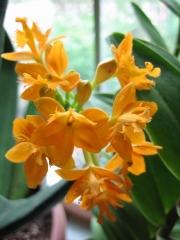 Epidendrum radicans terrestrial orchid, orange