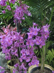 Epidendrum radicans hybrid terrestrial orchid, purple