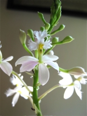 Epidendrum radicans 'Snow White' hybrid terrestrial orchid, near white