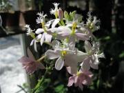 Epidendrum radicans hybrid terrestrial orchid, pale pink