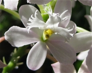 Epidendrum radicans hybrid terrestrial orchid, pale pink, closeup