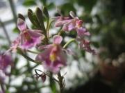 Epidendrum radicans terrestrial orchid, bicolor pink