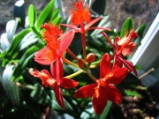 Epidendrum radicans hybrid terrestrial orchid, red