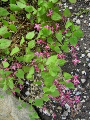 Epimedium alpinum x rubrum barrenwort, single flowered red form