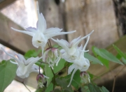 Epimedium alpinum 'White Queen' barrenwort, double flowered white form