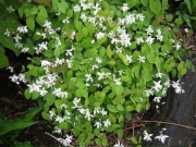 Epimedium alpinum barrenwort, white