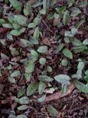 Erythronium dog tooth violet, leaf only