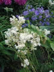 Filipendula ulmaria, Geranium, peony meadowsweet