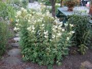 Filipendula ulmaria 'variegata' variegated Filipendula
