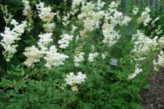 Filipendula vulgaris double meadowsweet
