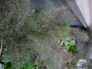 Foeniculum, bronze fennel
