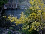 Forsythia river in background