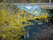 Forsythia painted bridge mural in background
