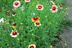 Gaillardia pulchella blanket flower