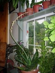 Gasteria grandiflora in bloom