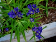 Gentiana asclepiadaea in full bloom