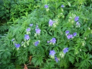 Geranium himalyense blue geranium