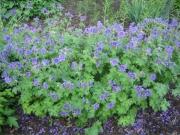 Geranium playtpetalum in full bloom