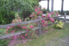 'Henry Cabot' rose