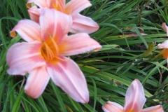 Hemerocallis 'Halls Pink' closeup