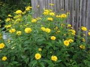 Heliopsis helianthoides 'Summer Sun' perennial sunflower