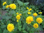 Helianthus x multiflorus 'Flore Pleno' dahlia-flowered perennial sunflower